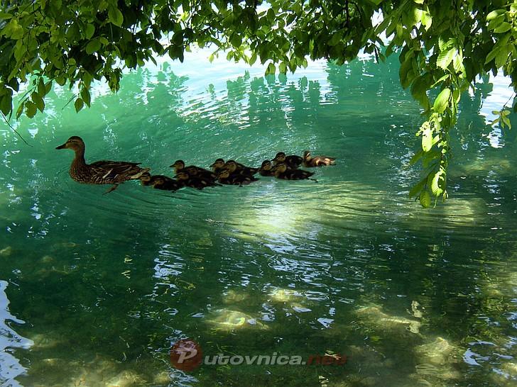 Patke na bledskom jezeru
