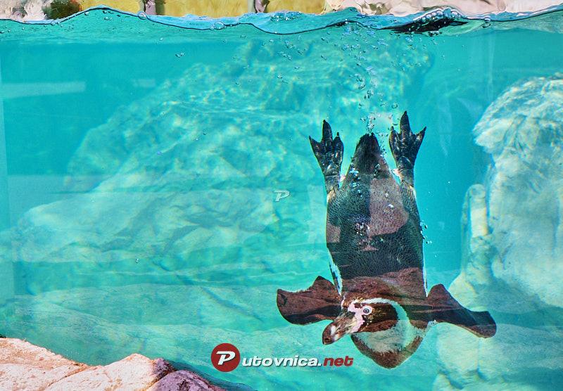 Becki Zoo Pingvini U Bazenu 101462 Slike Na Putovnica Net