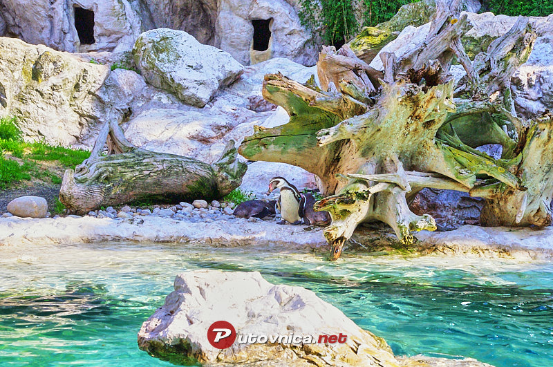 Viennese Zoo: Penguins in the pool